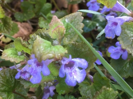 Glechoma hederacea © cetchemendy