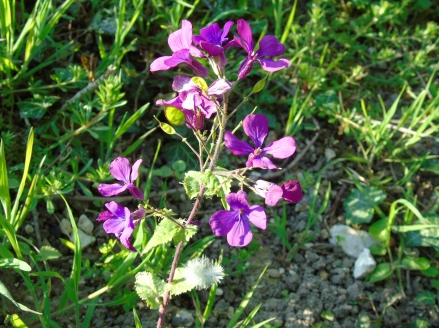Lunaria annua © cetchemendy